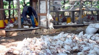 Photo of Preocupa muerte de cientos de pollos