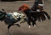 Photo of Ministro califica de criminal las peleas de gallos en Santiago