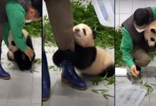 Photo of Video de un bebé panda aferrándose a su cuidador arrasa en redes sociales